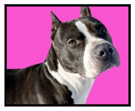Pitbull Dog Rescue Dubli